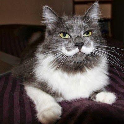 Catsparella: Hamilton The Hipster Cat Mustache You A Question