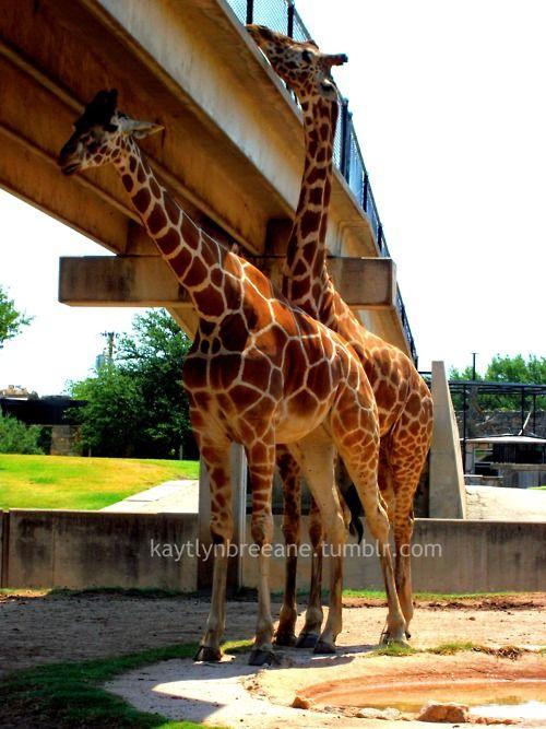 Fav Part Of Abilene Zoo Feeding The Giraffes Abilene Zoo Zoo Abilene