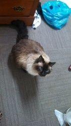 Adopt Ragamuffin On Ragamuffin The Most Beautiful Girl Pet Finder