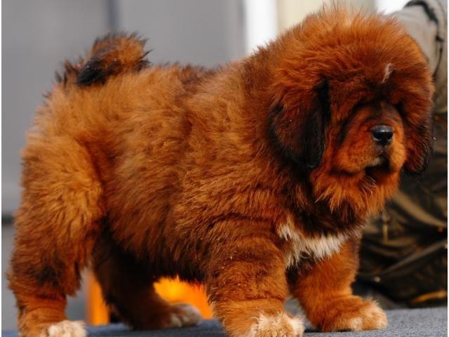 Lion Head Tibetan Mastiff Puppies