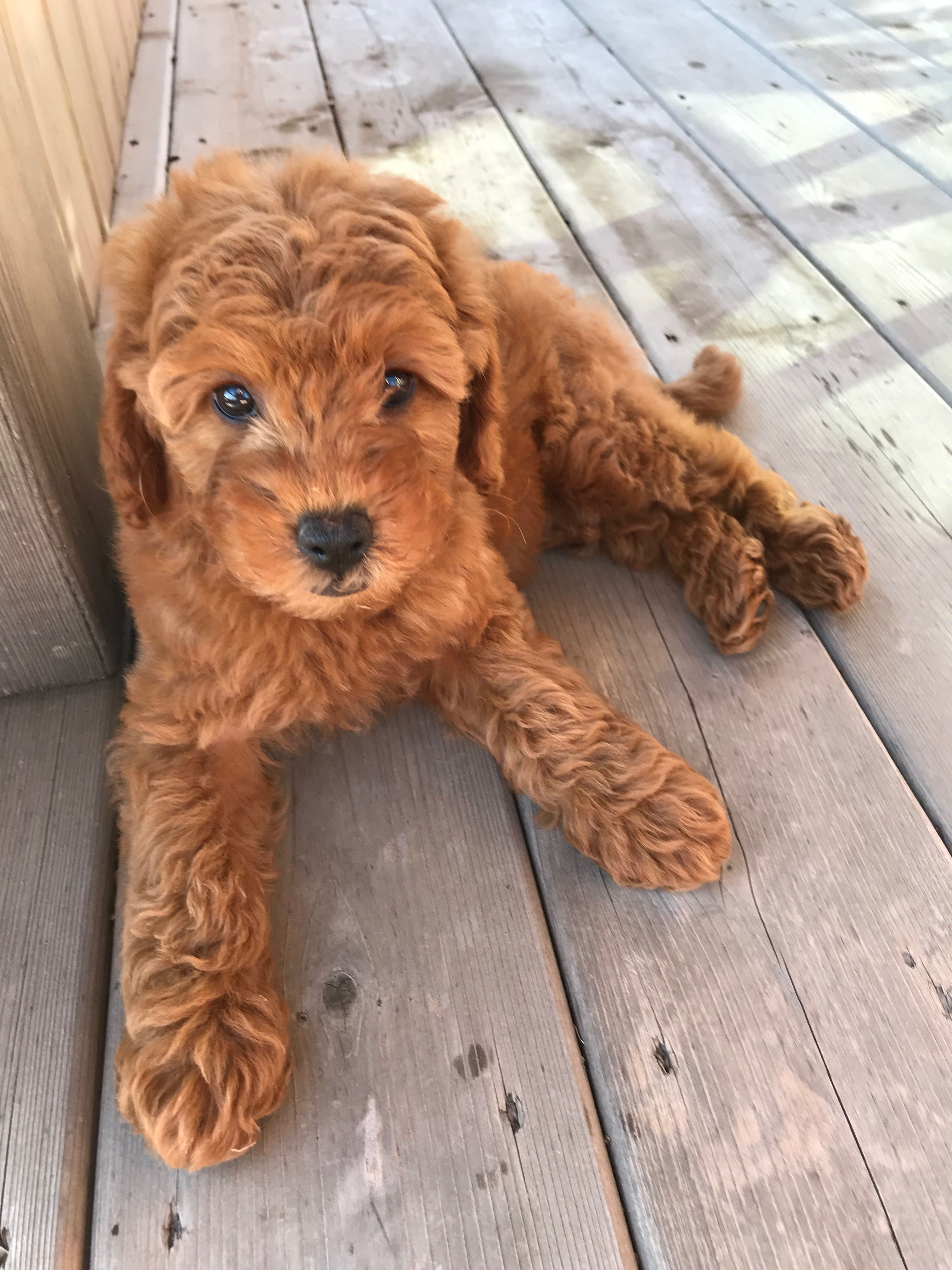 Our Mini Goldendoodle Luna 8 Weeks Old Whispering Pine Puppies