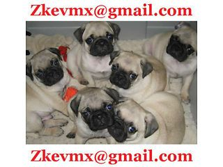 Cute Pugs Free To Good Home Cardiff Bay Picture 1 Pug Puppies For Sale Pug Puppies Pugs