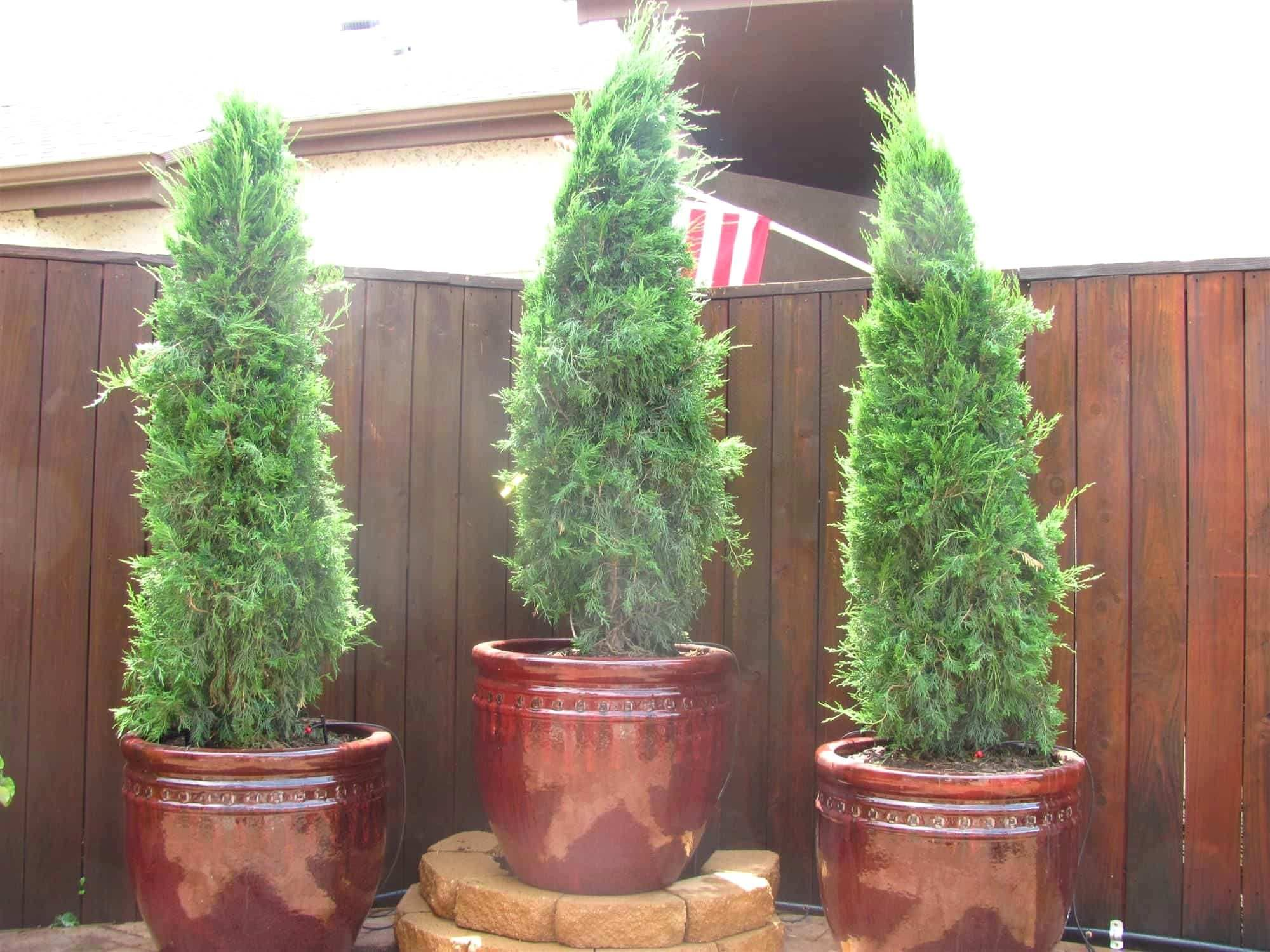 Potted Trees For Privacy On Patio Google Search Evergreen