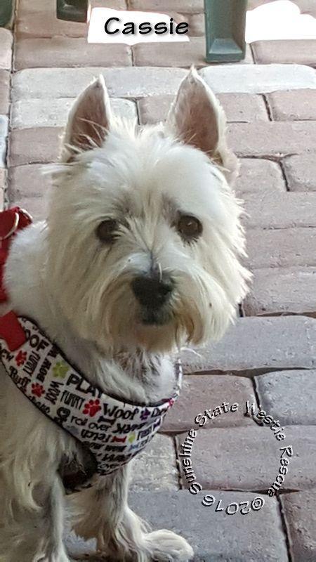 Adopt Bob Barker & Cassie on White terrier, West