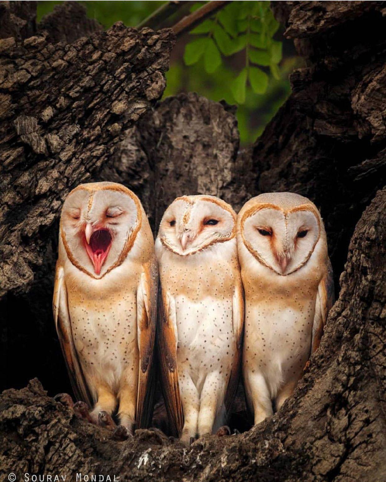 三羽のうち一羽だけ眠いフクロウの壁紙