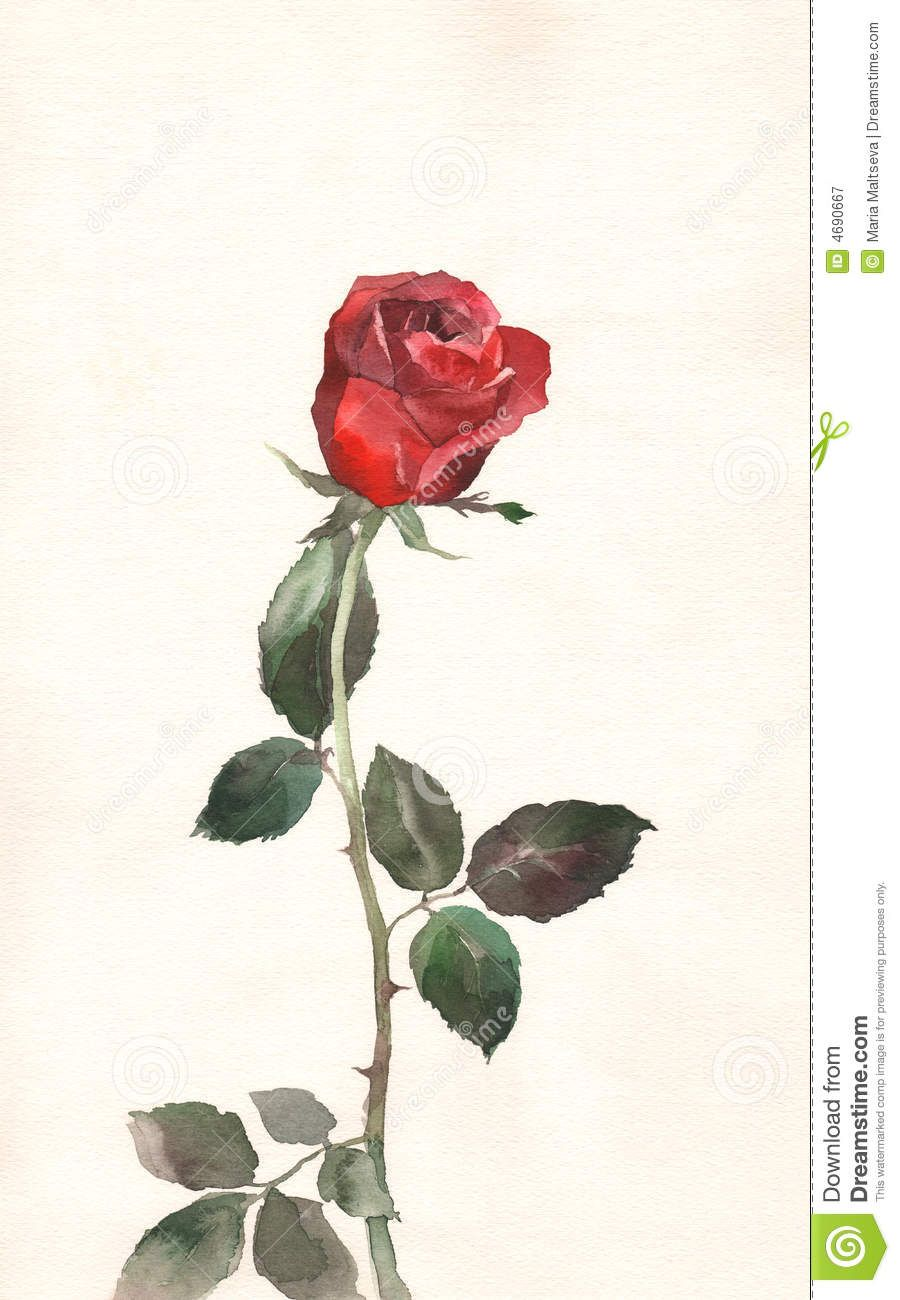 Red rose watercolor painting royalty free stock for How to paint a rose in watercolour