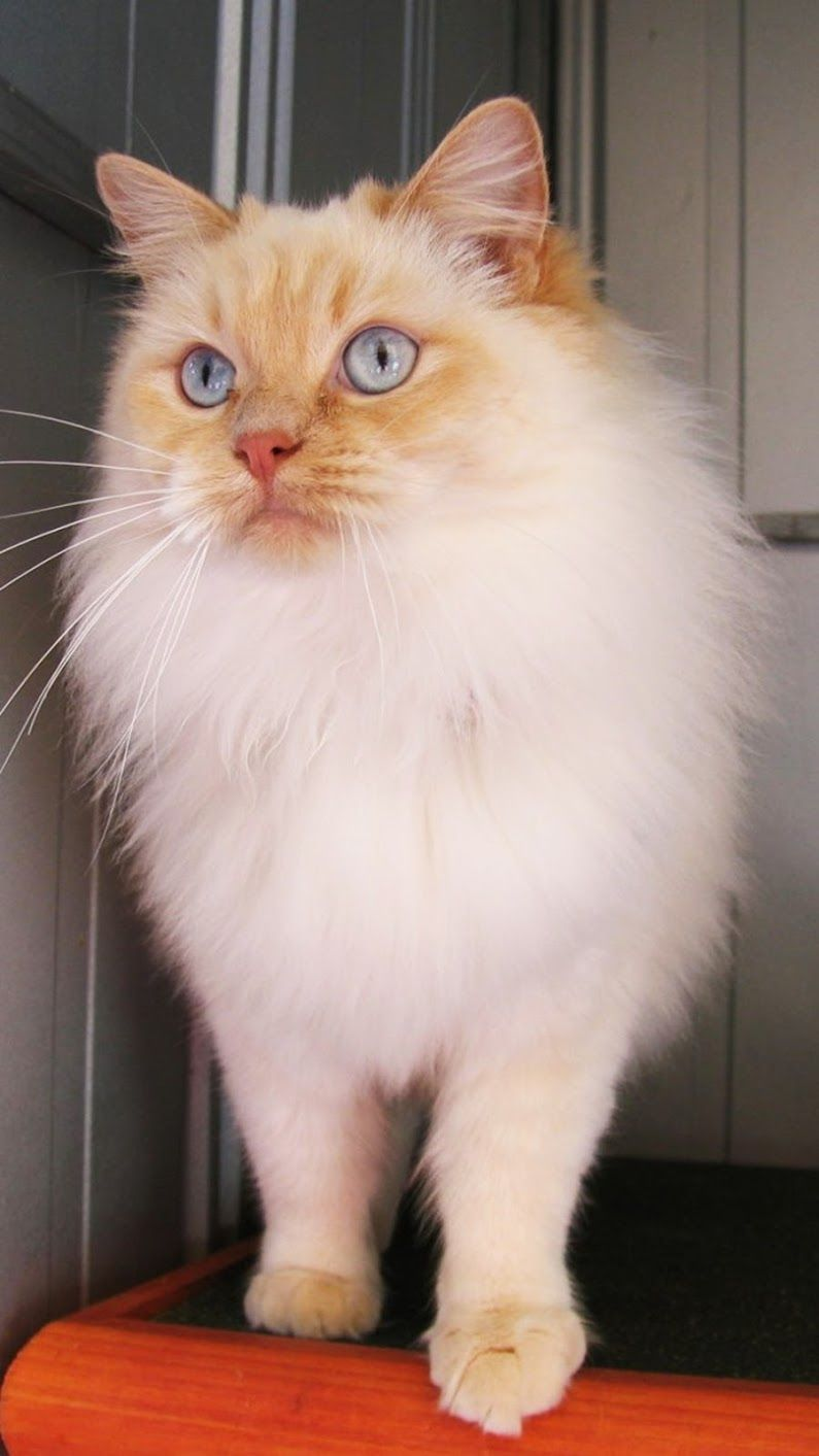 Pin By Chiara On Kitty In 2020 Fluffy Cat Breeds Cat Breeds Siamese Long Hair Cat Breeds