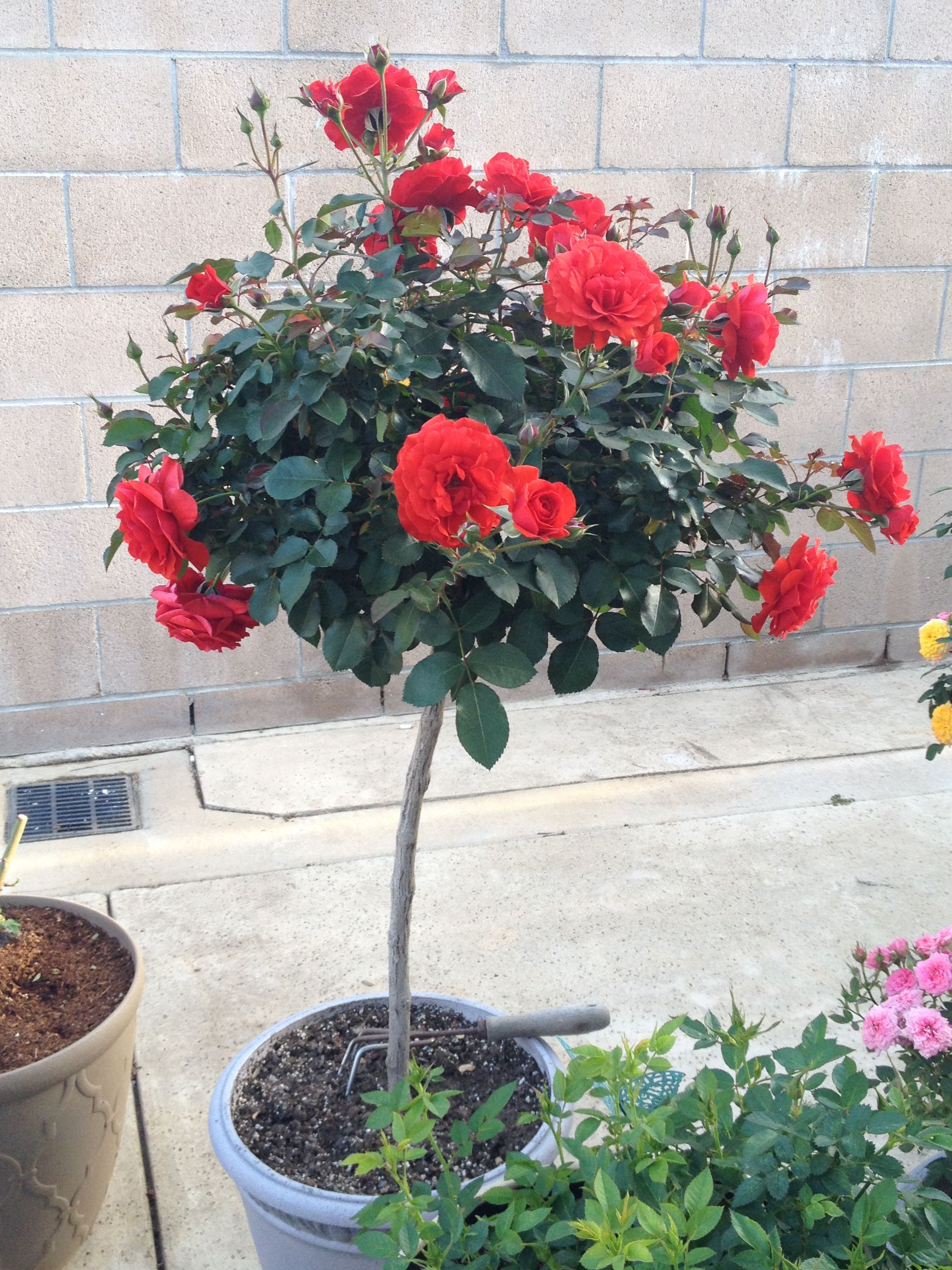 My Trumpeter Rose Tree In A Container 2017 Spring Rose Trees Lantana Rose