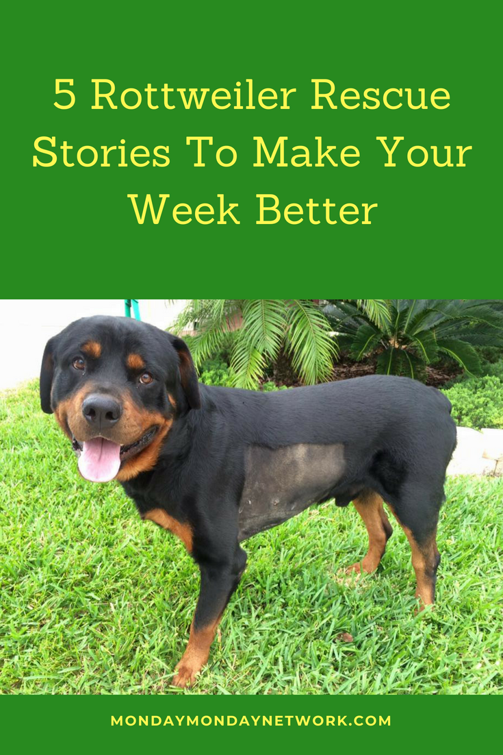 5 Rottweiler Rescue Stories To Make Your Week Better | Rottweiler