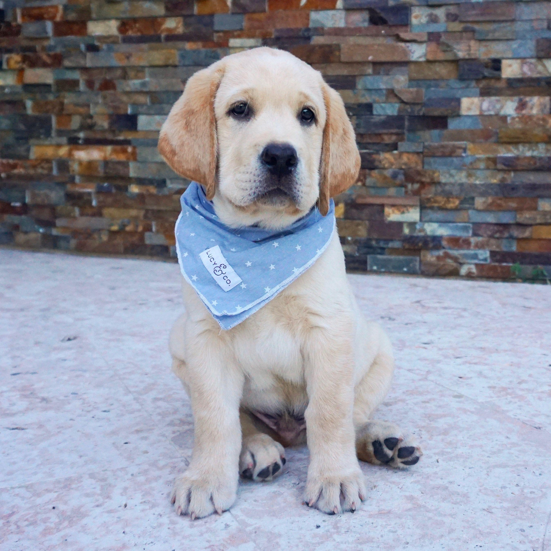 Lab Labrador Puppy Bandana Puppy Bandana Labrador Puppy Labrador