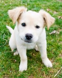 Jake Is An Adoptable Golden Retriever Dog In Winston Salem Nc