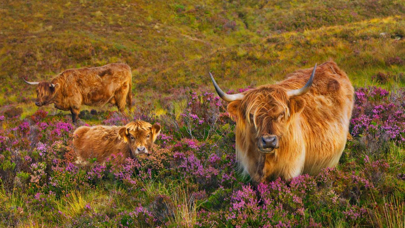 Highland cattle in a field of heather on the Isle of Skye, Scotland (© Frank Krahmer/Corbis)