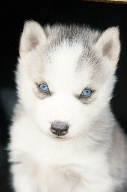 Blanc White Malamute Husky Puppy Dog With Blue Eyes