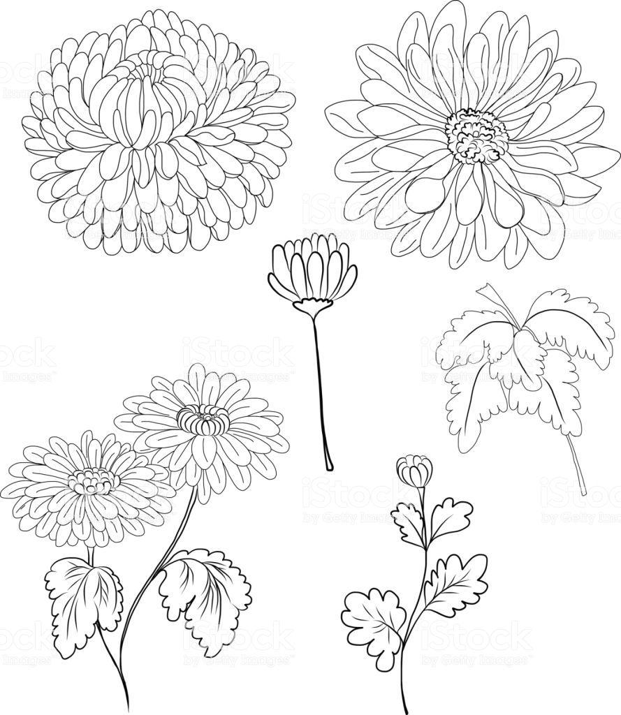 Hand Drawn Chrysanthemum Flower Royalty Free Hand Drawn Chrysanthemum Flower Stock Vect Flower Line Drawings Chrysanthemum Flower Drawing Chrysanthemum Drawing