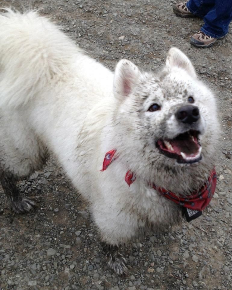 10 Things You Probably Didn T Know About The Smiling Samoyed