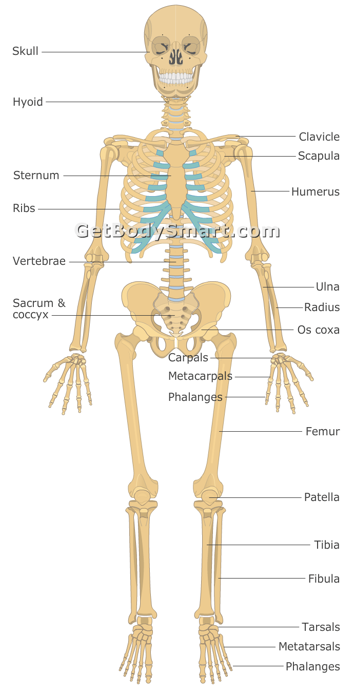 Appendicular Skeleton and Axial Skeleton: Organization of the ...