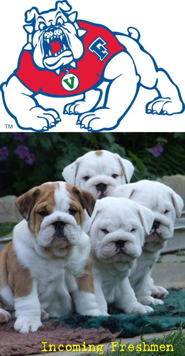 Must see English Bulldog Chubby Adorable Dog - 3031c2a903bd7b19da0acd5cd18f6103  Pictures_656012  .jpg