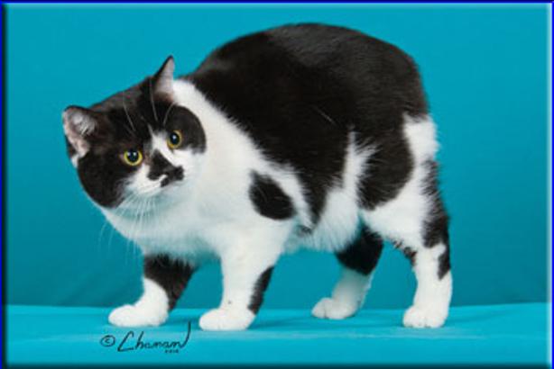 GC, GP, NW Fuzzyfoot's News Flash Manx cat, Cat breeds