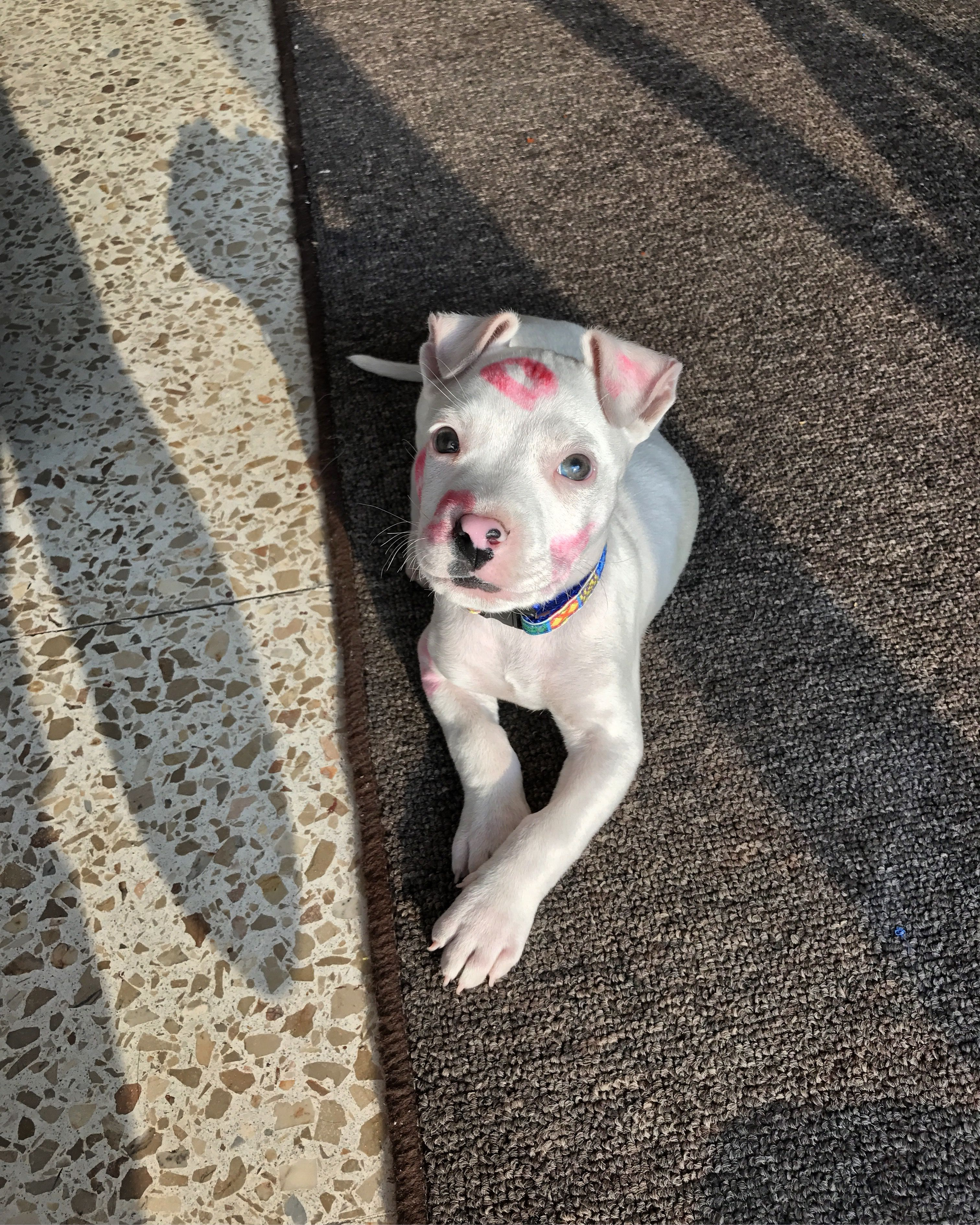 White Pitbull Blue And Brown Eye With Red Kisses Pitbulls
