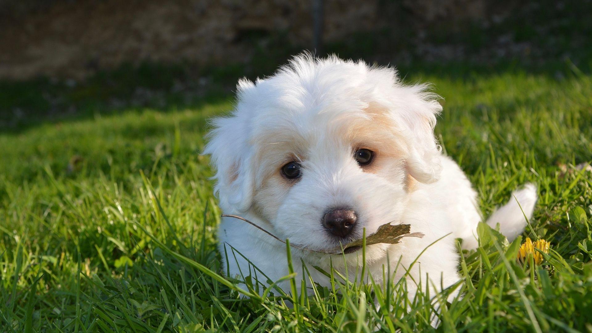 White Cute Puppy Hd Wallpaper Cute Dogs Cute Puppies Puppies