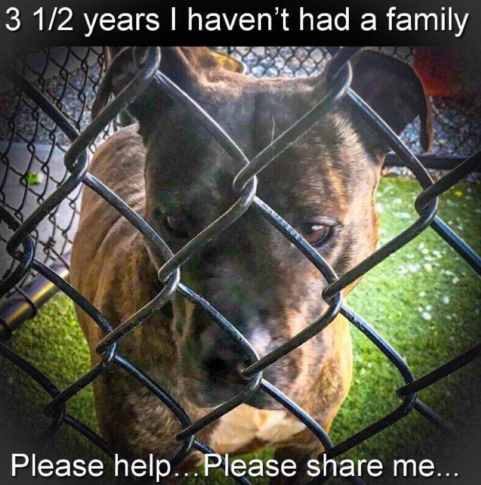 Shelter Spotlight Brindle Beauty Looking For Her Second Chance Aggressive Dog Dogs Dog Photos