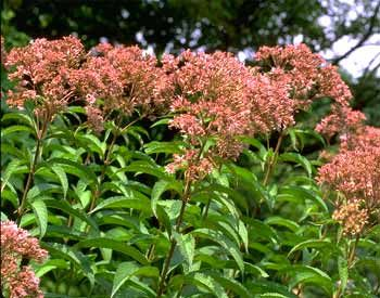 Spotted joe pye weed eupatorium maculatum this tall late this tall late flowering native grows well in moist areas where it can reach a height of 5 feet or more its showy lavender pink flowers grow in mightylinksfo