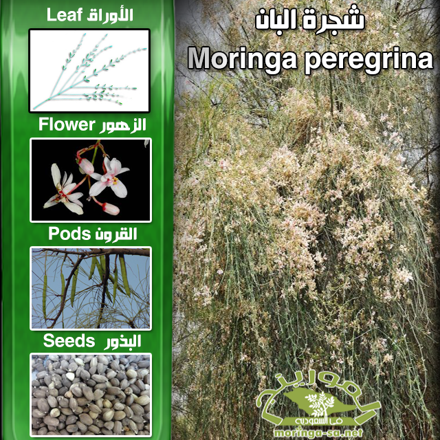 شجرة البان Moringa Seeds Health Fitness