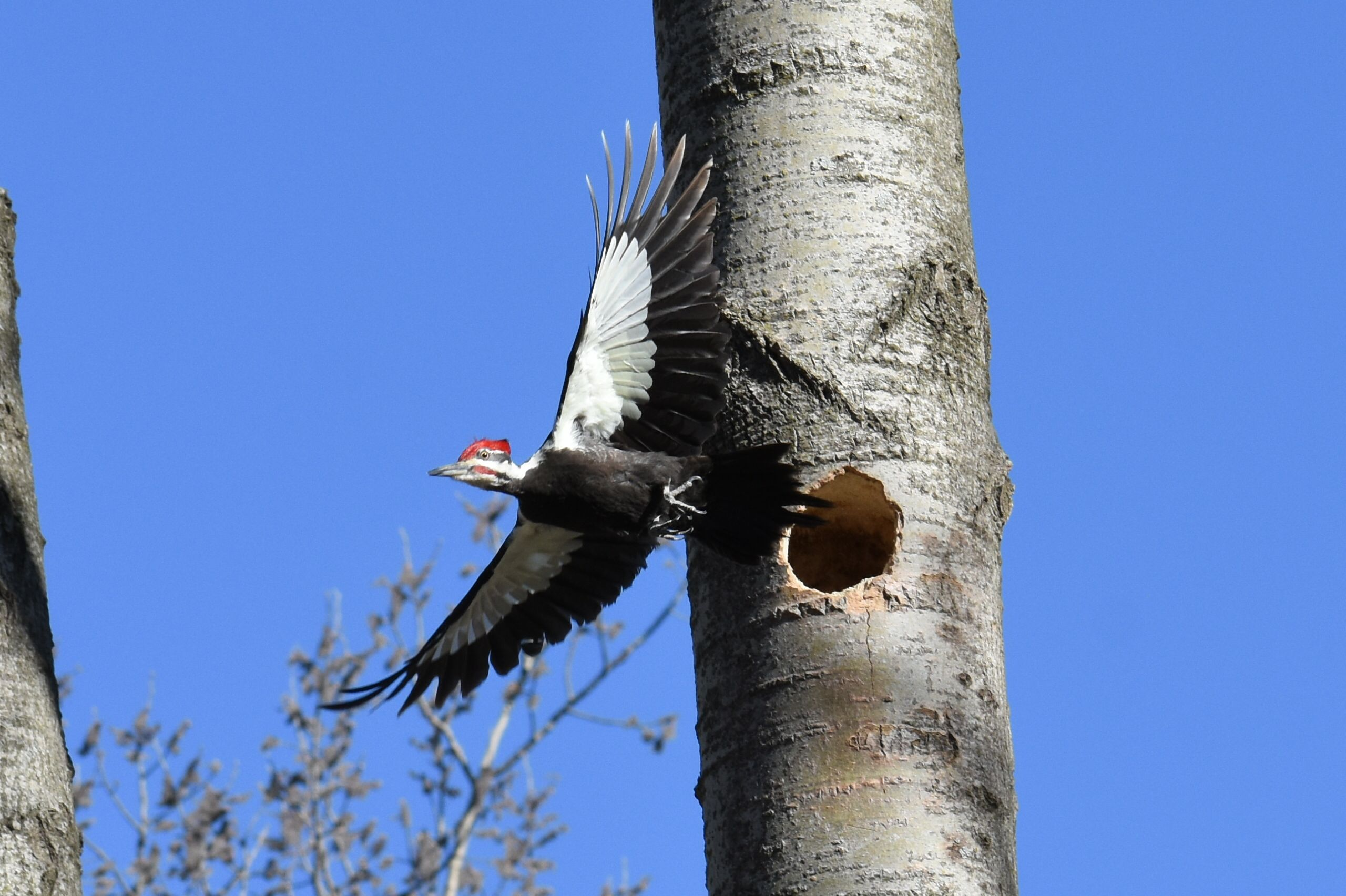 Pileated Woodpecker April 28 By Ken Groezinger