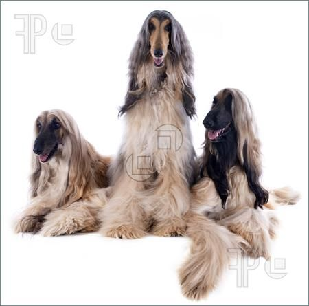 Price Afghan Hound Puppies Afghan Hounds In Front Of White