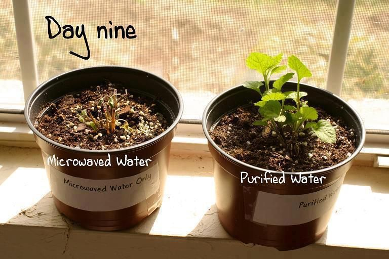 Here is a Science fair project presented by a girl in a secondary school in Sussex . More on : http://www.snopes.com/science/microwave/plants.asp