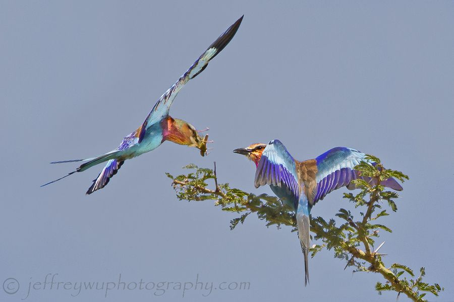 Lilac Breasted Rollers by Jeffrey Wu, via 500px