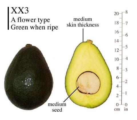 Xx3 Aka Holiday Avocado A Espaliered 2 2015 Looking For A Sharwil B As A Perfect Companion Avocado Avocado Varieties Avocado Tree