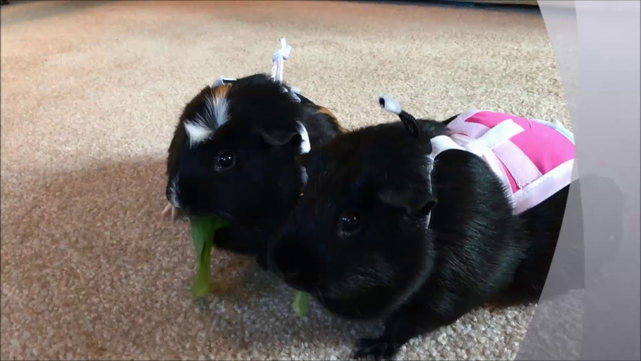 Pin On Guinea Pigs Piggy Pants Diapers
