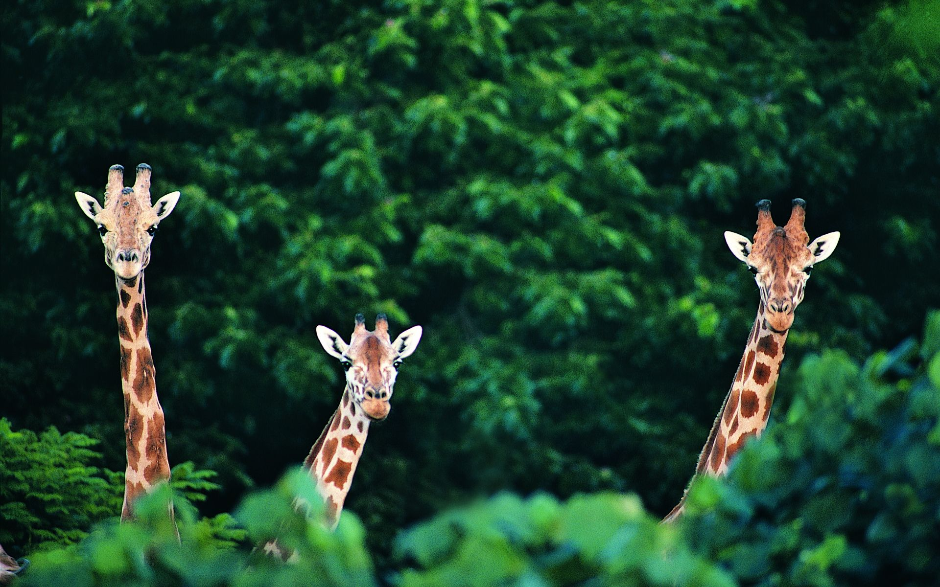 Cute Giraffe Wallpaper High Definition 2b2 1920x1200 Px 136 MB
