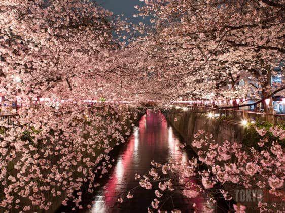 Yozakura Tokyo Nighttime Cherry Blossom Viewing In The City Cherry Blossom Tokyo Hanami