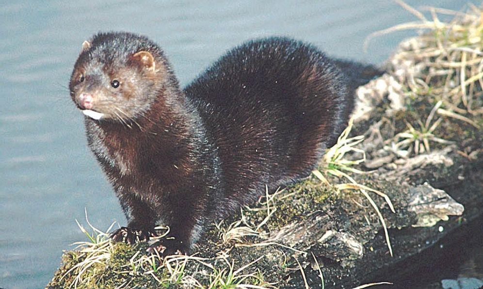 Pictures of wild black mink #10