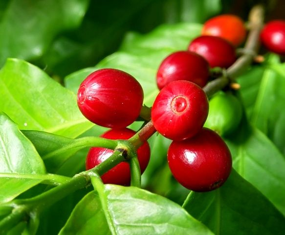 Coffee Berries Are The Cherry Like Fruit Of The Coffee Plant That Cover The Bitter Coffee Bean Scient Green Coffee Extract Coffee Plant Pure Green Coffee Bean