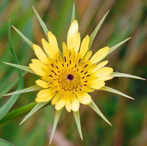 Tragopogon Dubius Western Salsify Or Western Goat S Beard Native To Europe And Western Asia It Is Widespread As An Introduced Species In North America Photo