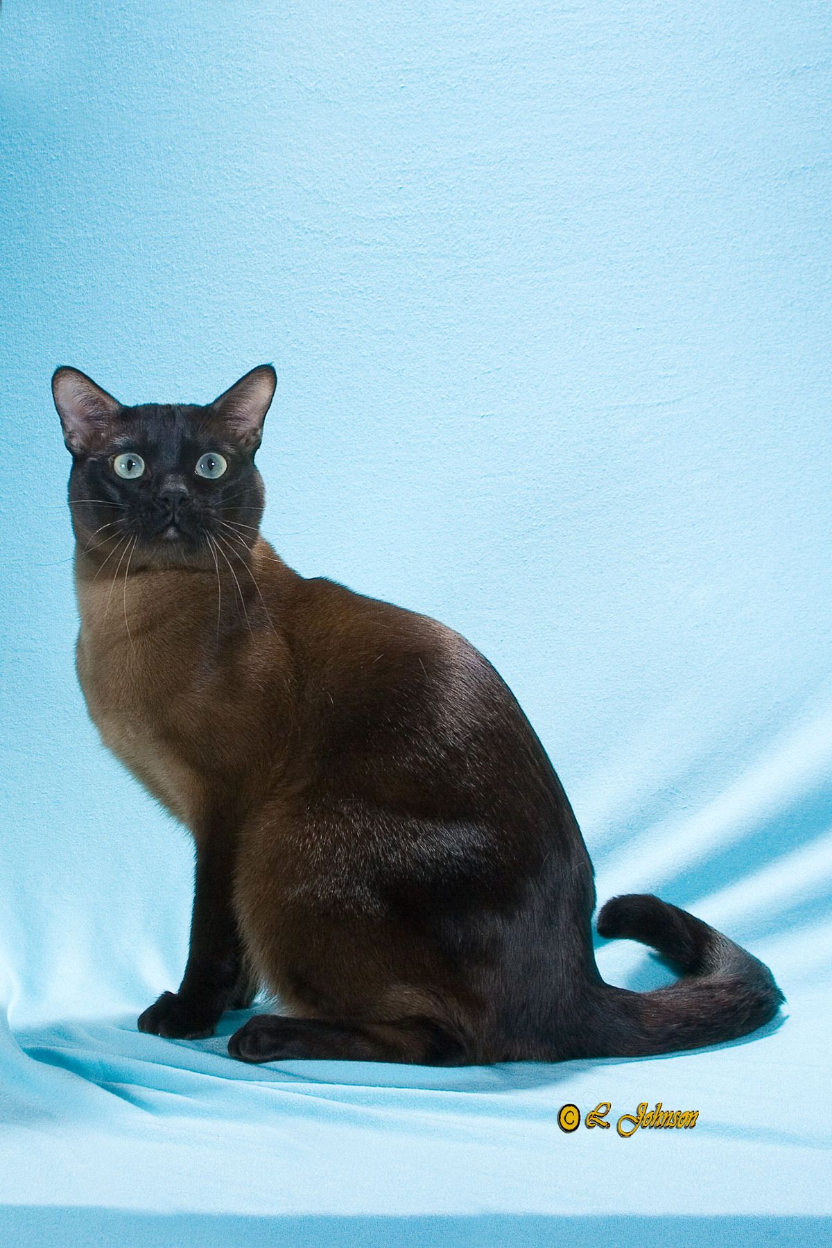 This Tonk Could Be Bay S Twin Tonkinese Cat Tonkinese Pretty Cats