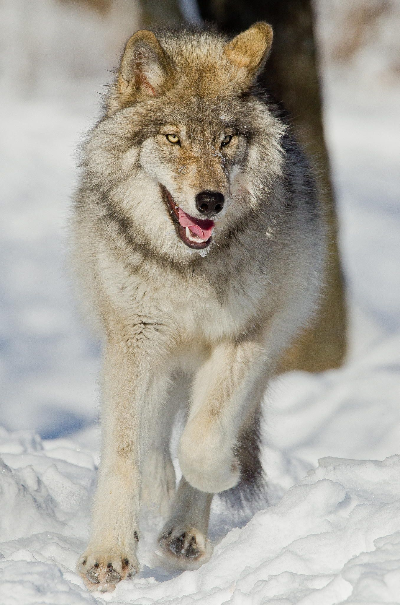 Running wolf by Maxime Riendeau on 500px*