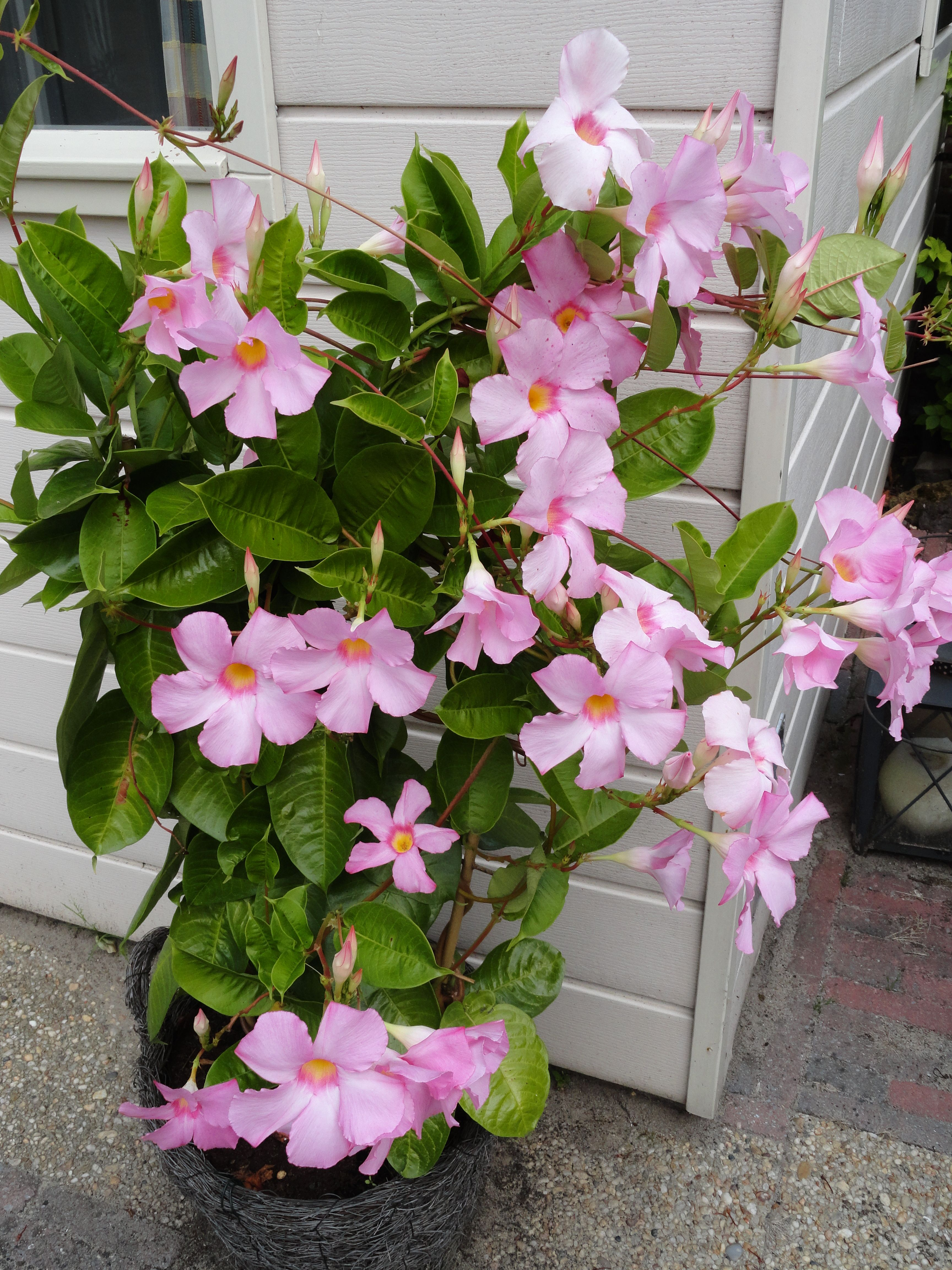 Dipladenia dipladenia is in the mandevilla family but has for Plantes tropicales exterieur