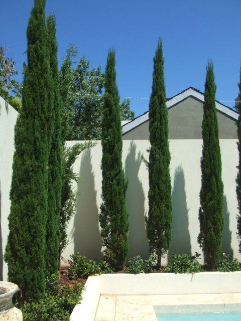 Pencil pines  (Imagine agaves underneath)