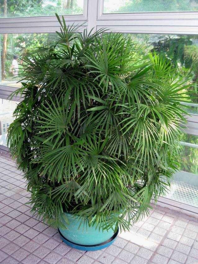 Jade Empress Palm Rhapis Multifida House Plants