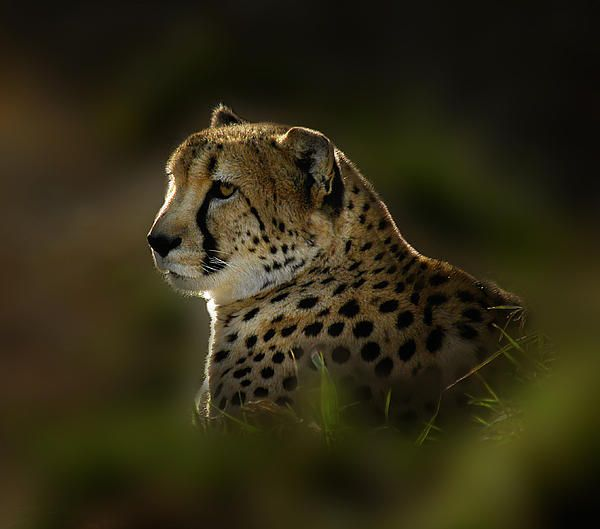 Cheetah by Peter Holme III