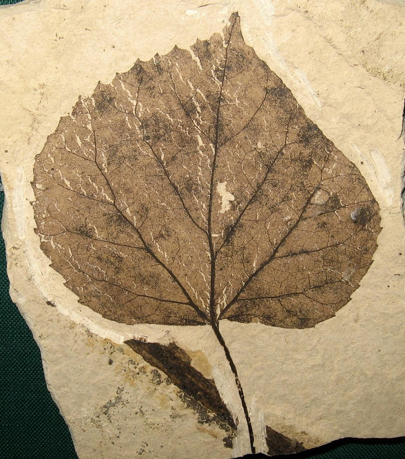 Pin by larry violett on fossils birthday tree trees to