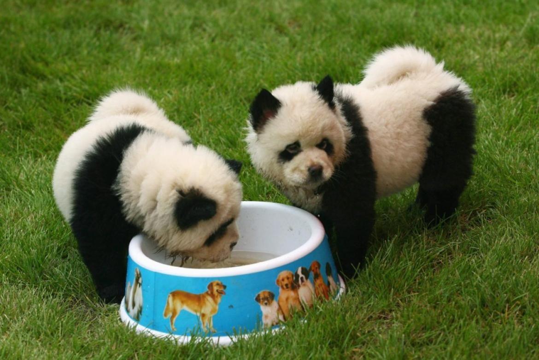 Chusky Puppies Google Search Panda Dog Panda Puppy Panda Bear
