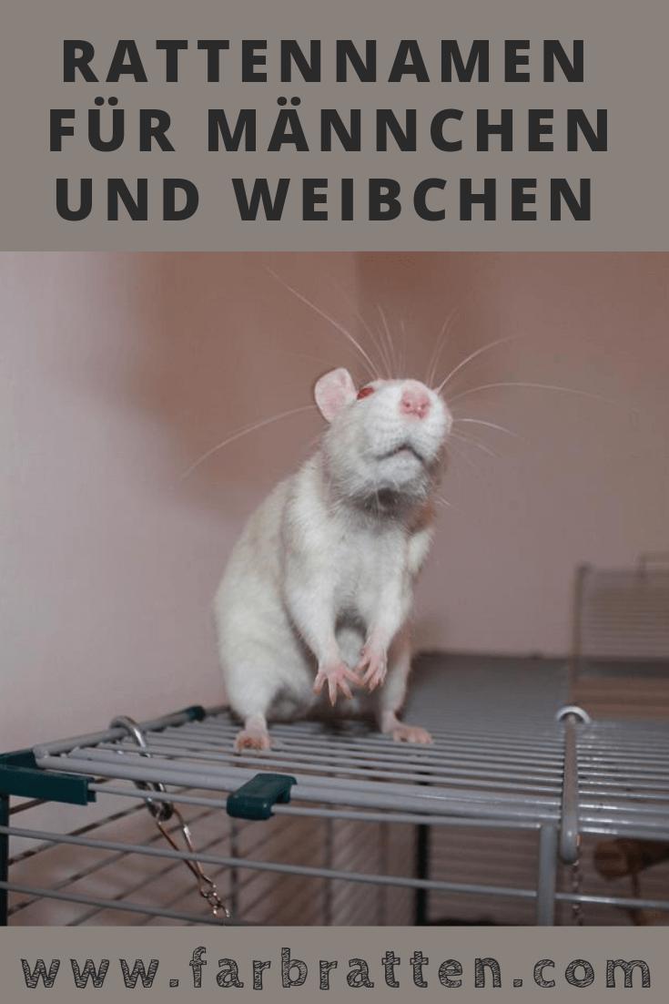 Rattennamen mit Bedeutung 🐭 für Männchen und Weibchen