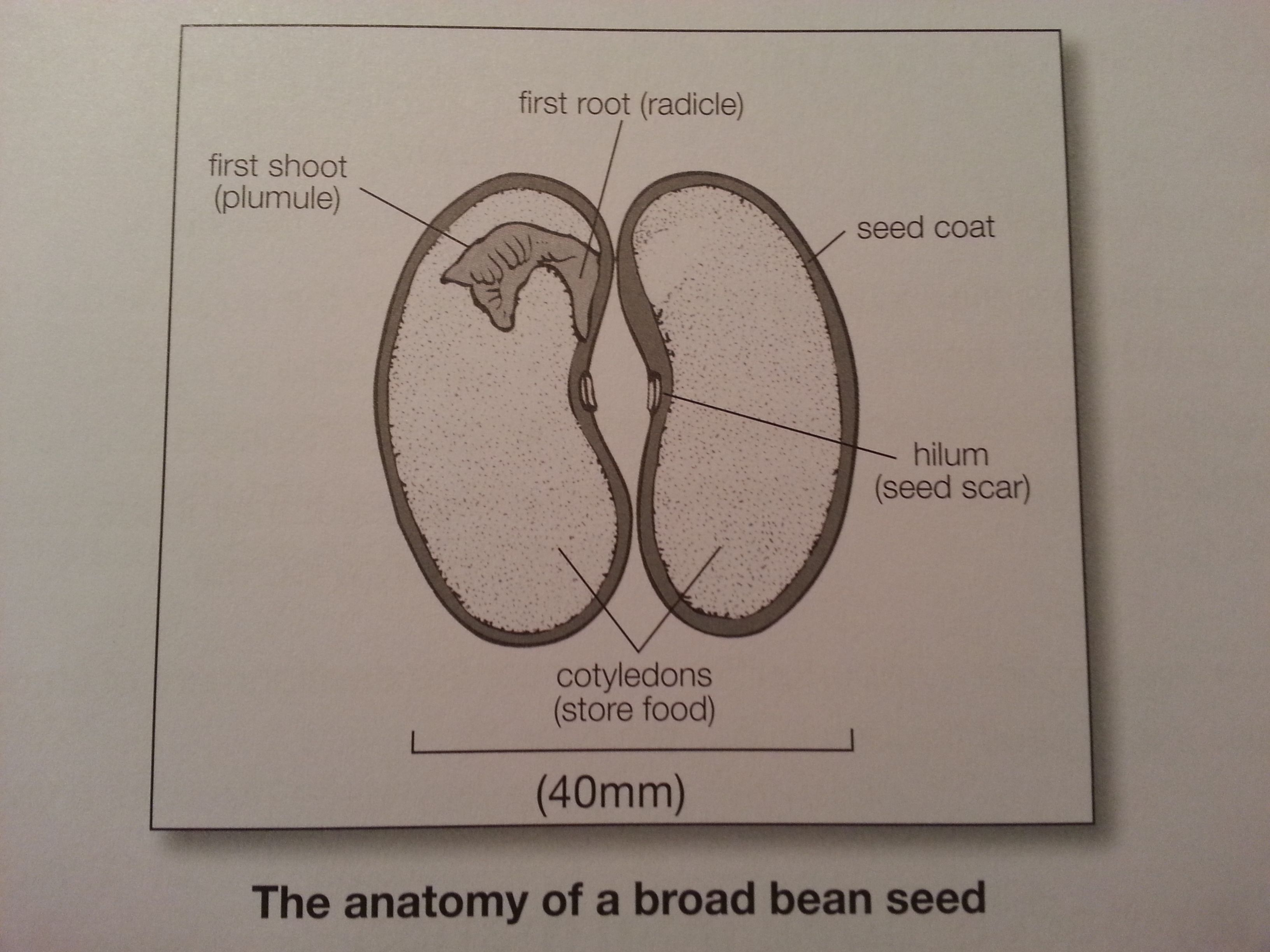Image Result For Drawing Of A Dissected Bean With Images