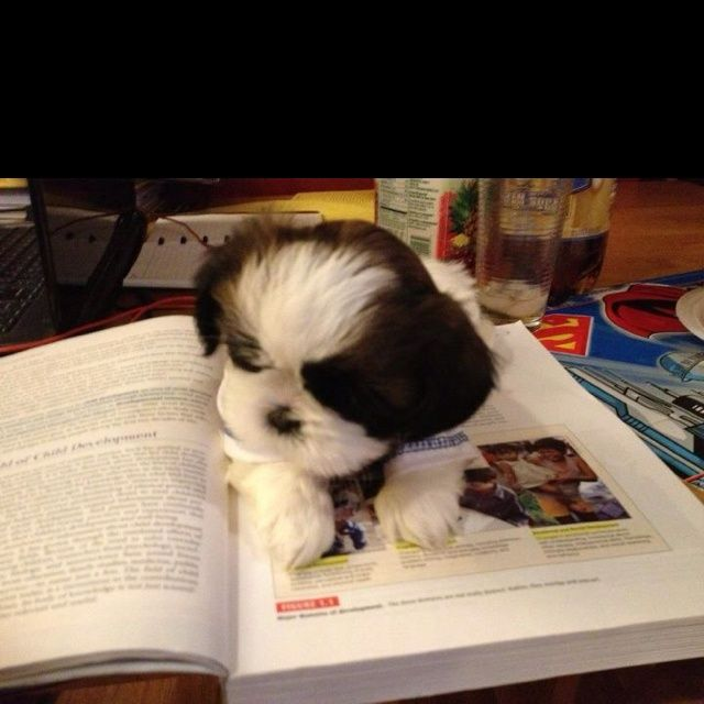 Types Of Dog Intelligence Polite Dog Cute Puppy Pictures Cute Little Puppies Shih Tzu