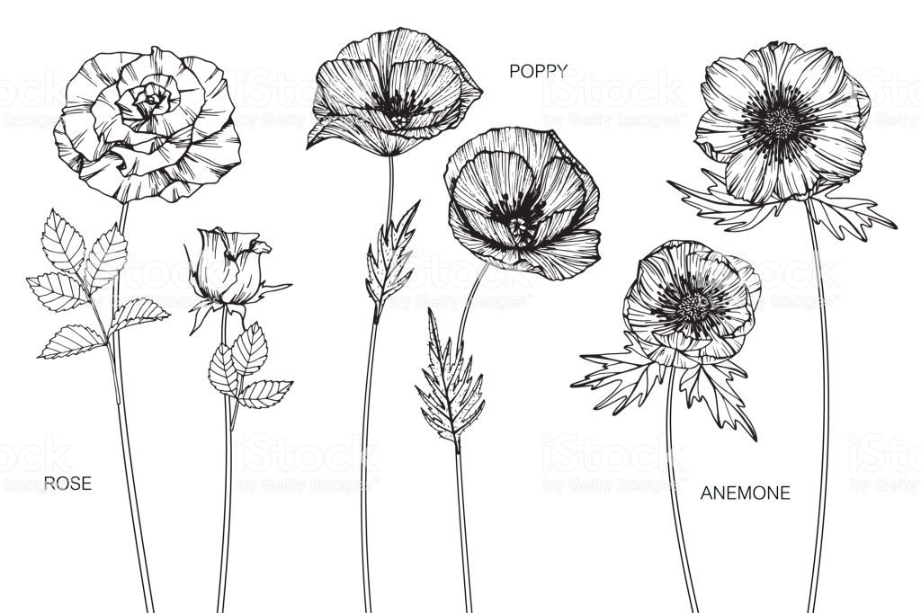 Rose Poppy Anemone Flower Drawing Illustration Black And White With Line Art On W Flower Line Drawings Flower Drawing Botanical Illustration Black And White